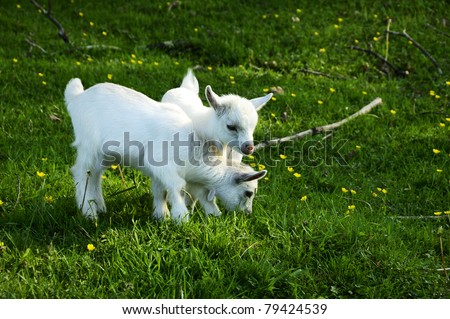 Pygmy goat twins, family farm, Webster County, West Virginia, USA - stock photo