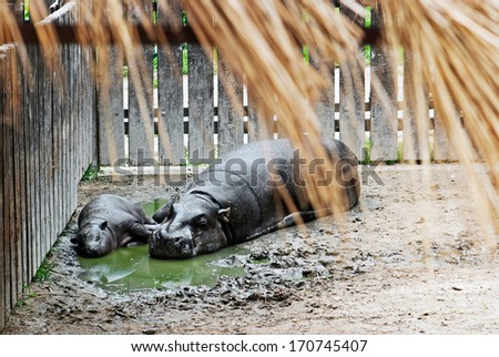 Pygmy Hippopotamus (choeropsis liberiensis) and a baby in a zoo - stock photo