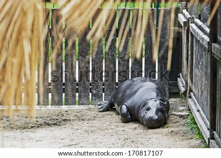 Pygmy hippopotamus (Choeropsis liberiensis) in a zoo - stock photo