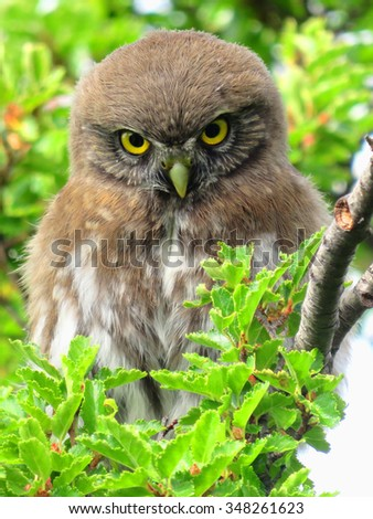 Pygmy-owls mainly eat small birds, lizards, insects, small mammals, frogs and earthworms.  - stock photo