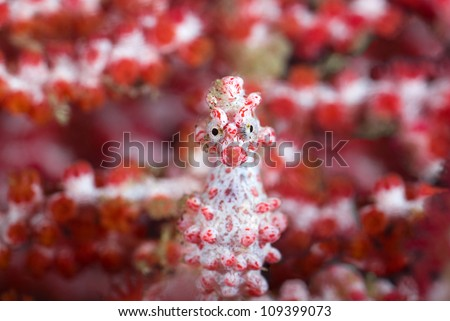 Pygmy seahorse in front of soft corals looking directly at camera - stock photo