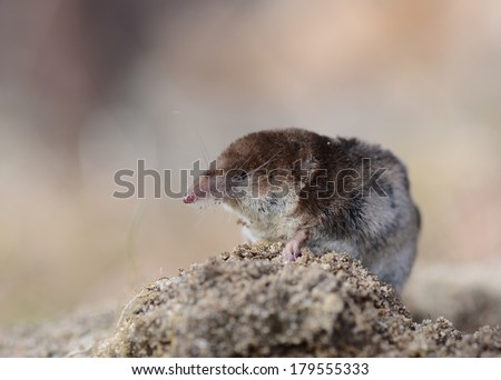Pygmy Shrew - stock photo