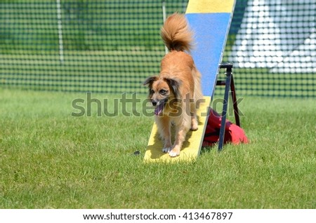 Pyrenean Shepherd on a Teeter-Totter at Dog Agility Trial - stock photo
