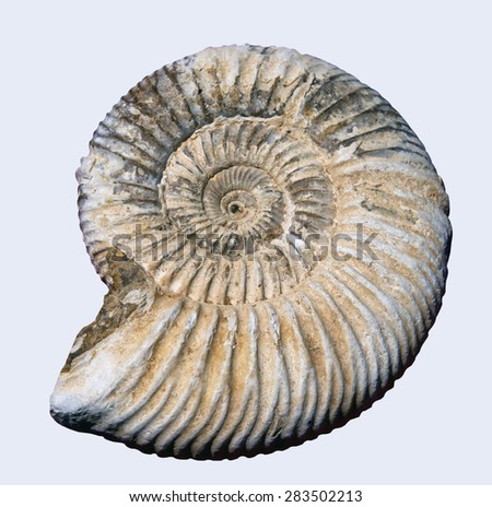 Pyretised ammonite fossil on white background - stock photo