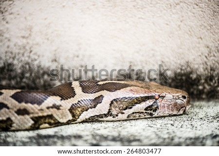 Python, is among the longest snake species and extant reptiles in the world. The Python's skin is of dark brown, grey, black and white textures. - stock photo