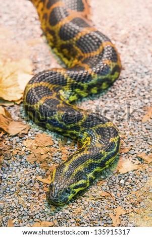Python molurus - stock photo