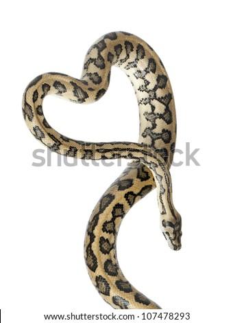 Python, Morelia spilota variegata,close up against white background - stock photo