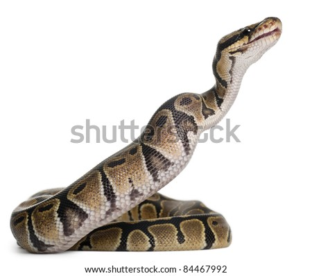 Python Royal python eating a mouse, ball python, Python regius, in front of white background - stock photo