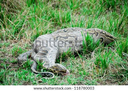 Python snake devouring a small gazelle - stock photo