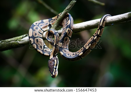Python snake hanging on a tree - stock photo