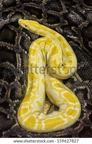 python snakes - stock photo