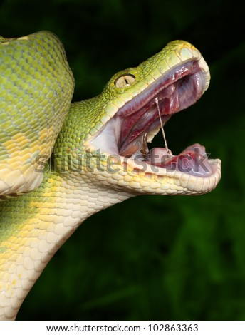 Python with open mouth - stock photo