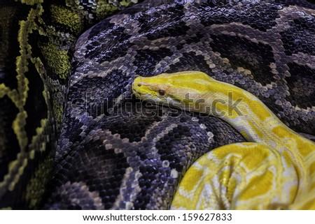 pythons - stock photo