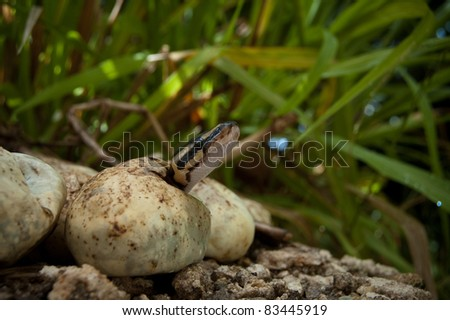 Pythons hatching in the Everglades - stock photo