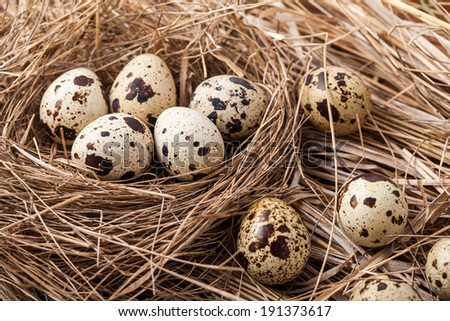 Quail eggs in a straw nest - stock photo