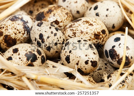 Quail eggs in the nest - stock photo