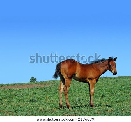 Quarter horse foal in the pasture on a summer day - stock photo