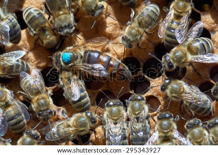 Queen bee in the center. It's larger than other worker bees and it's marked by blue paint                                - stock photo