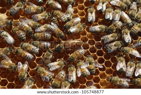 Queen Bee On Comb with Worker Bees:  A queen bee on a honeycomb with worker bees attending to her needs - stock photo