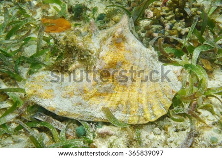 Queen conch shell, Lobatus gigas, underwater on seabed with seagrass, alive specimen, Caribbean sea - stock photo