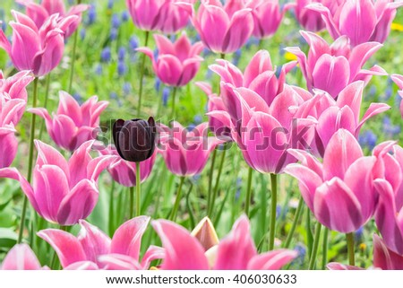 Queen of Night tulip in the pink linty tulip filed - stock photo
