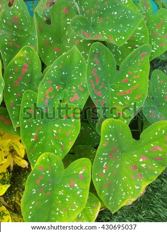 Queen of the Leafy Plants, Caladium bicolor Vent, ARACEAE, Fancy Leaved Caladium, Heart of Jesus, Aglaonema-plant for interior decoration / colorful leave flower - stock photo