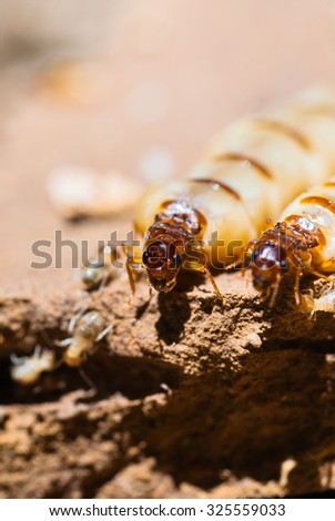 Queen termite - stock photo