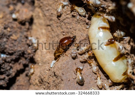 Queen termite surrounded by workers - stock photo
