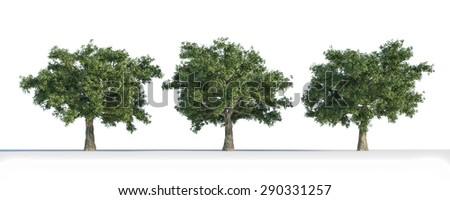Quercus 3D tree isolated - stock photo