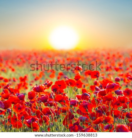 quiet sunset among a red poppy field - stock photo