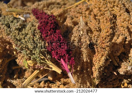 quinoa, sacred grain in Andes, Bolivia - stock photo