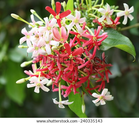Quisqualis Indica flower plant , Chinese honeysuckle, Rangoon Creeper, Combretum indicum - stock photo