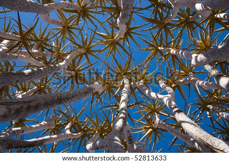 Quiver Tree against blue sky - stock photo