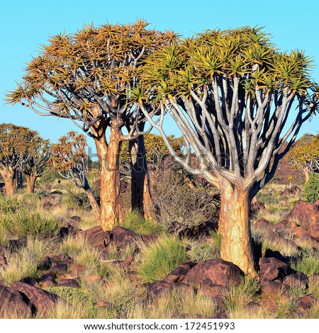 Quiver tree forest landscape. Kokerbooms in Namibia, South Africa. African nature) - stock photo