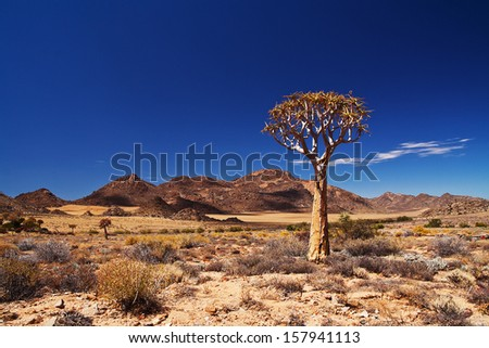 Quiver tree in the Northern Cape, South Africa - stock photo