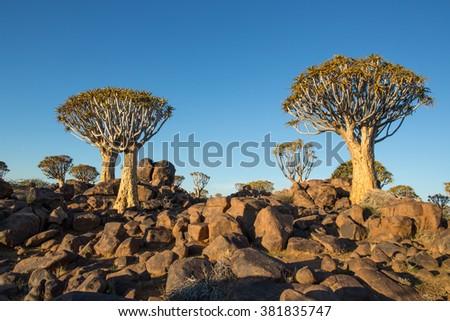 Quiver Trees landscape Namib  Rand Reserve Namibia - stock photo