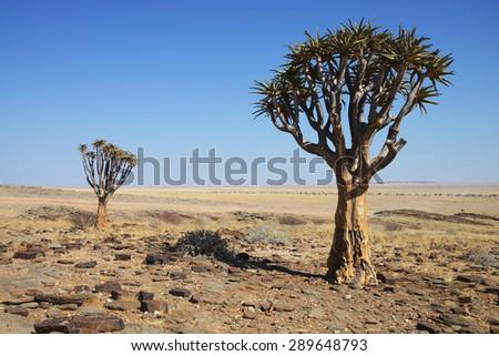 Quiver Trees, Namib, Namibia  - stock photo