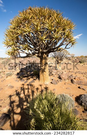 Quivertree Forest, Keetmanshoop, Namibia  - stock photo