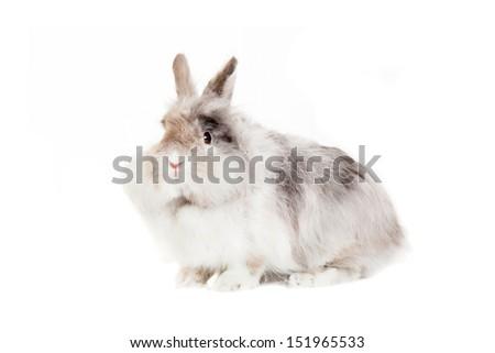 Rabbit Angora breed, isolated on white background. - stock photo