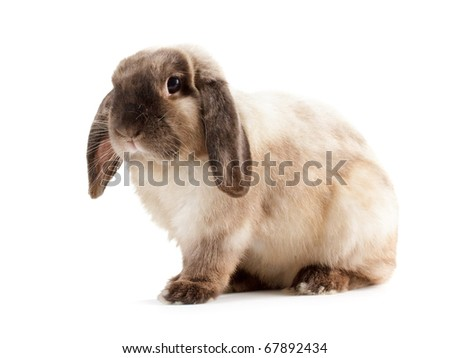 Rabbit Ram breed, siamese color. Isolated on white background. - stock photo