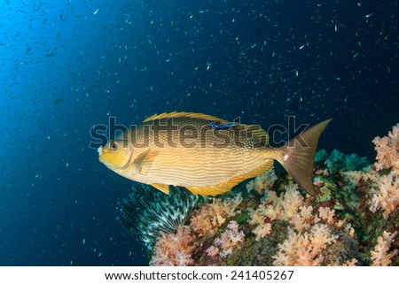 Rabbitfish - stock photo