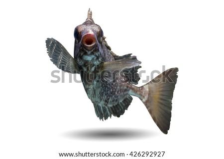 Rabbitfish/swimming fish/spinefoot fish/lovely rabbitfish on white/face of fish/tropical spotted rabbit fish/beautiful curve of spinefoot fish/baby fish - stock photo