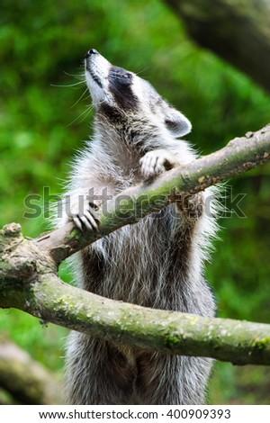 raccoon - stock photo