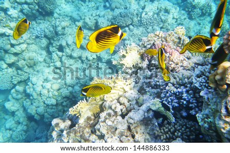 Raccoon butterfly fish underwater coral reef - stock photo