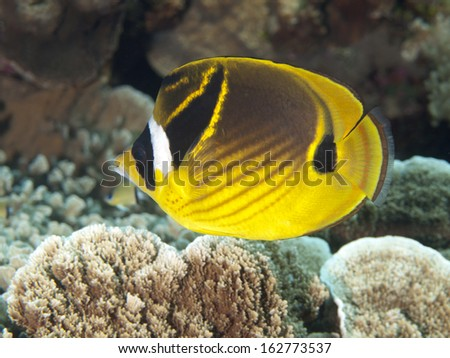 Raccoon butterflyfish in Bohol sea, Phlippines Islands - stock photo