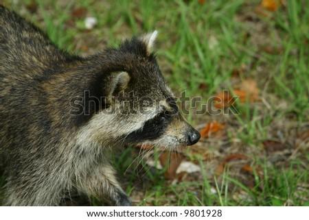 Raccoon Closeup - stock photo