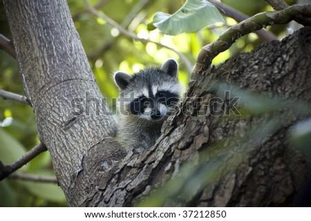 Raccoon Cub - stock photo