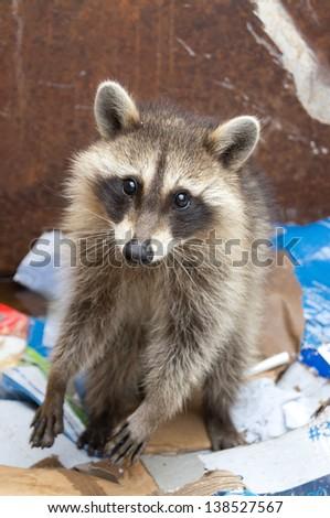 raccoon in garbage bin - stock photo