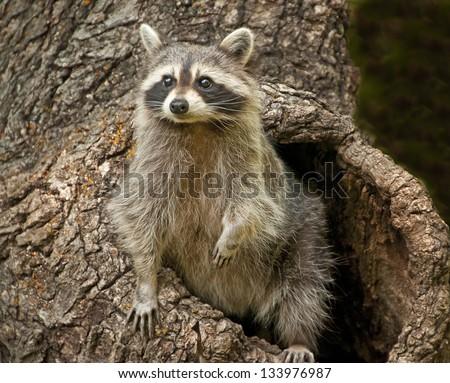 Raccoon in tree nest - stock photo