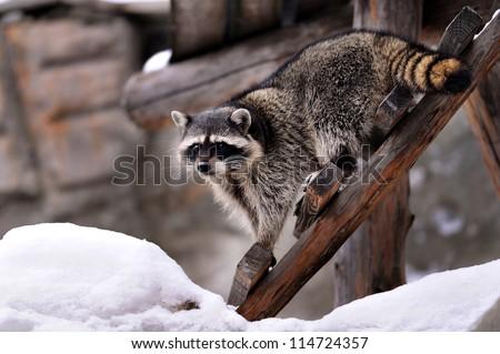 raccoon in winter - stock photo